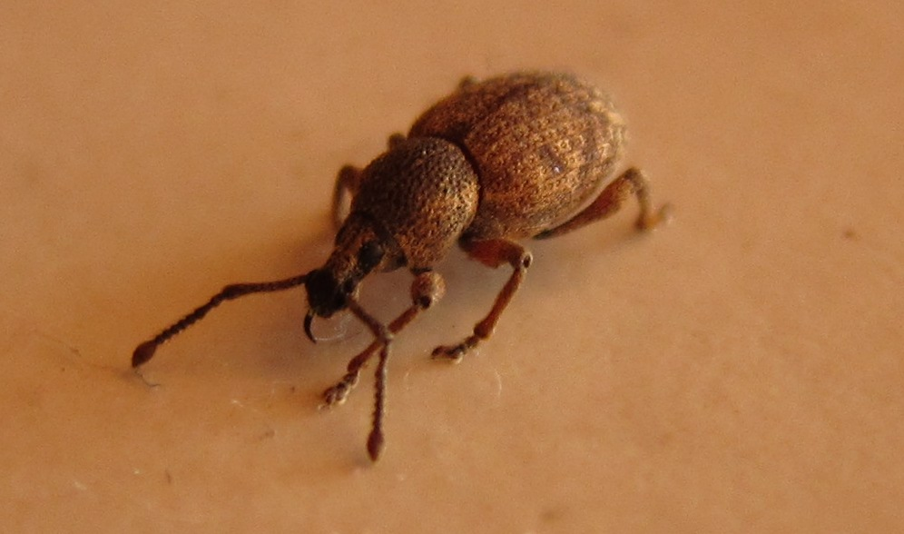 Flour bugs weevils - photo#14